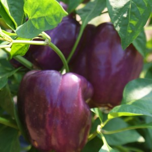 Organic Purple Bell Peppers 2lb Bags