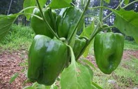 Organic Green Bell Peppers 2lb Bags