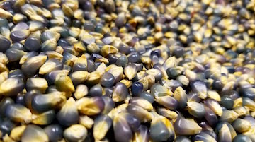 Organic Blue Popcorn Loose 1lb