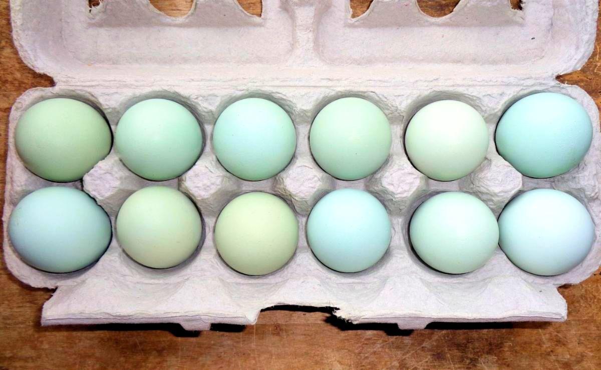 Ameraucana Blue Eggs Dozen