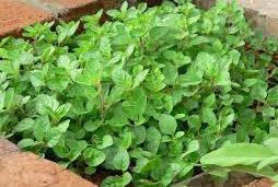 Organic Oregano Plant
