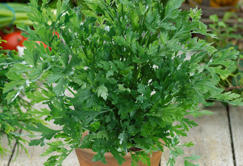 Organic Parsley Plant