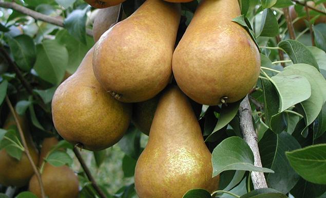 Organic Bosc Pears 3lb Bag