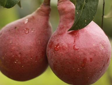 Seckel Pears 3lb Bag