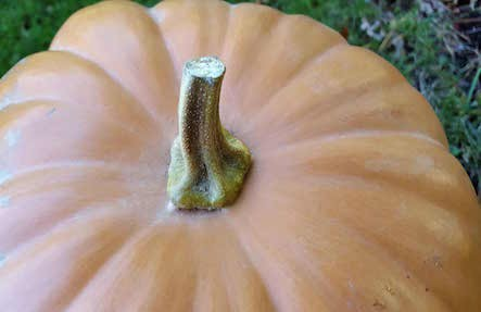 Long Island Cheese Pumpkins 8lb