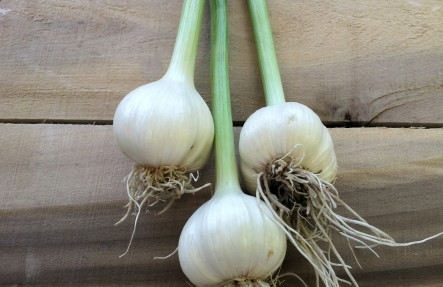 Fresh Garlic Head and Stem  3 for $6.99