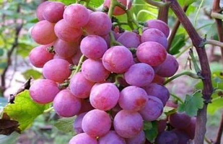 Organic Red Grapes Seedless 2lbs