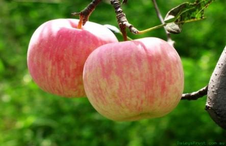 HoneyCrisp Apples 3lb Bag