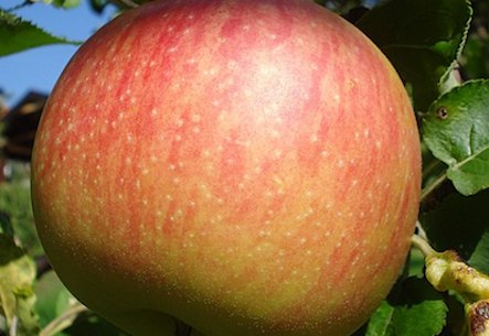 Jonagold Apples 3lb Bag