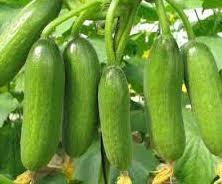 Organic Mini Cucumbers 2.5lb