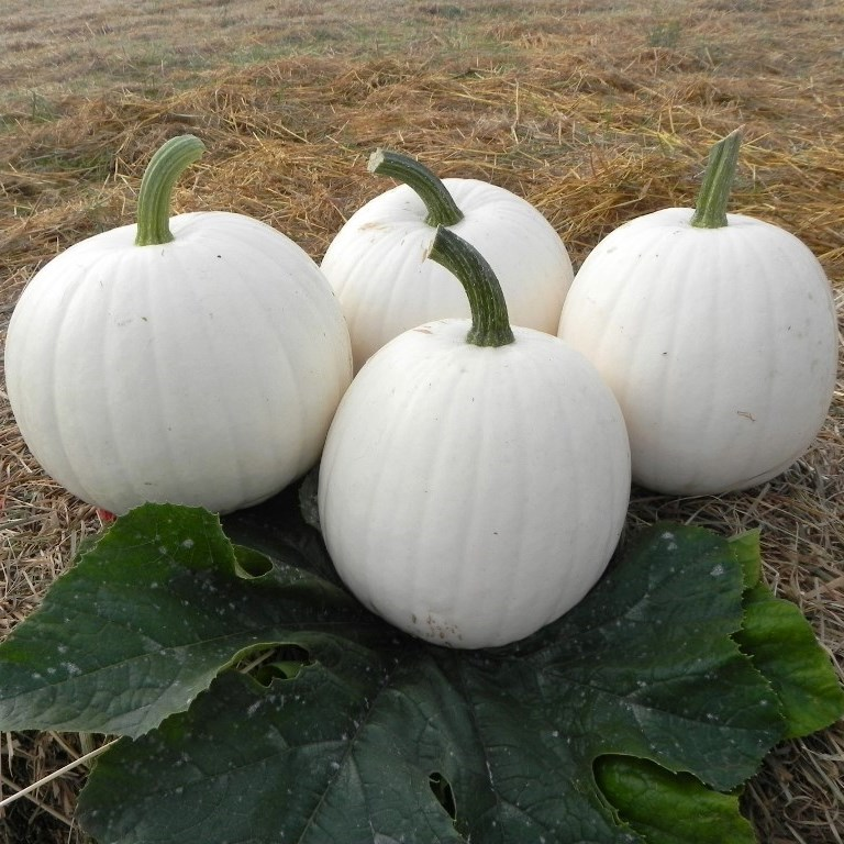Moonshine Pumpkins 6-8lb