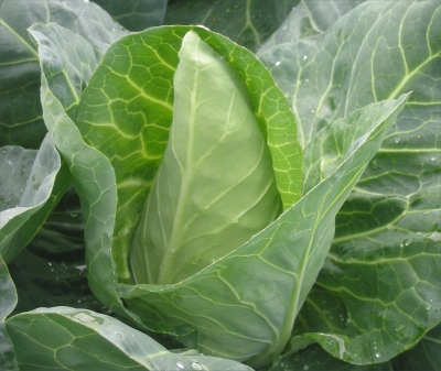 Organic Cabbage 2 Pack