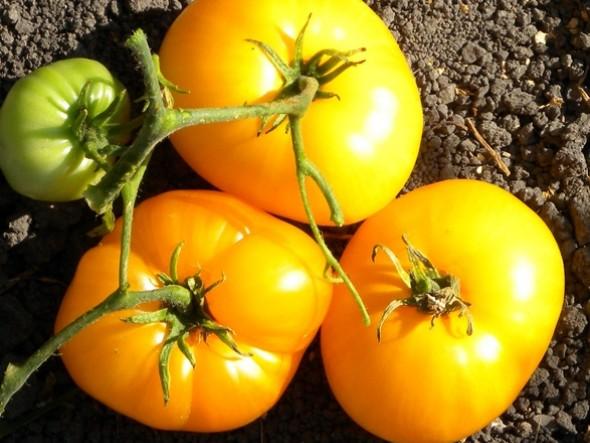 Organic Yellow Beefsteak Tomatoes 3lbs