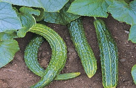 Organic Cucumber Plant