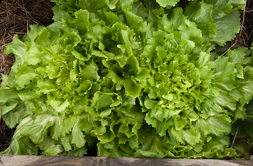 Organic Escarole Bunches-2 Pack