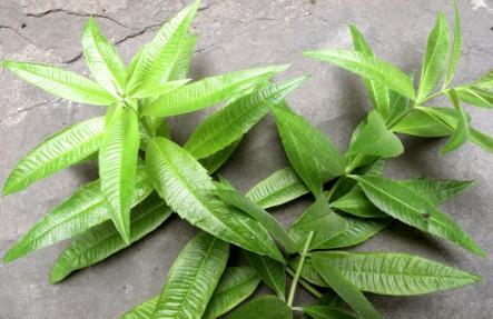 Organic Lemon Balm Plant
