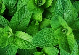 Organic Mint Bunch