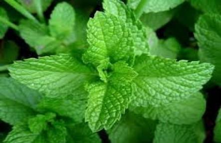 Organic Mint Plant
