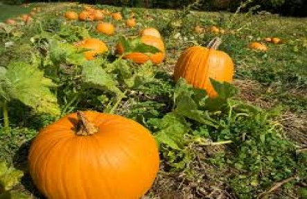 Organic Pumpkin Plant