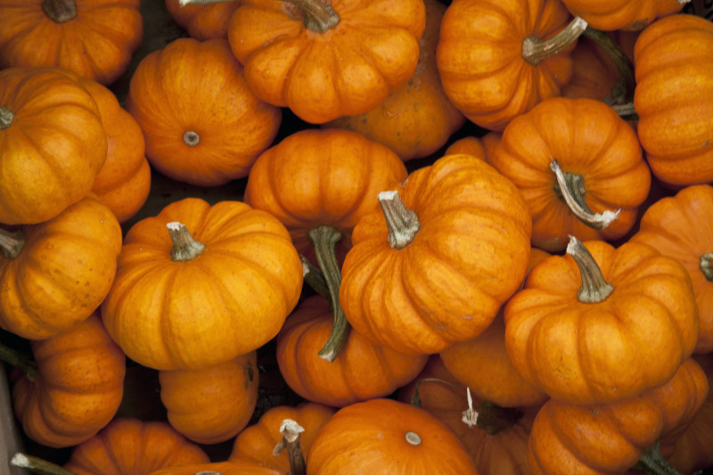 Jack Be Little Pumpkins 4 Pack
