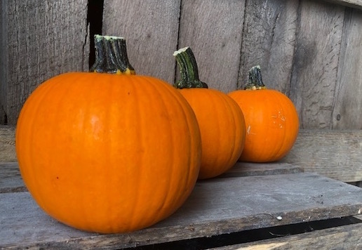 Mini Pumpkins 4 Pack