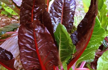 Organic Swiss Chard 2 Bunches