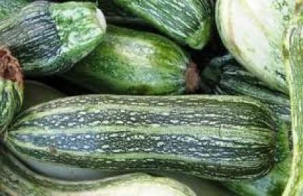 Organic Zucchini Plant