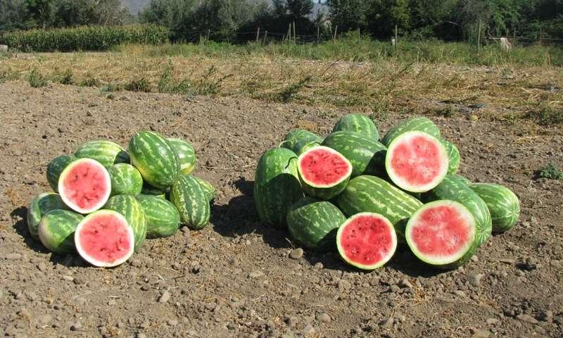 Organic Watermelon Plant
